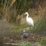 white-and-whitefaced-herons