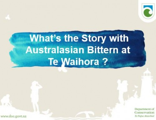 What's the story of the Australasian Bittern at Te Waihora